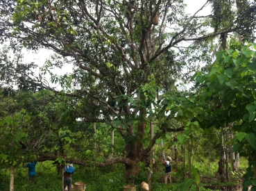 Men harvesting mangos